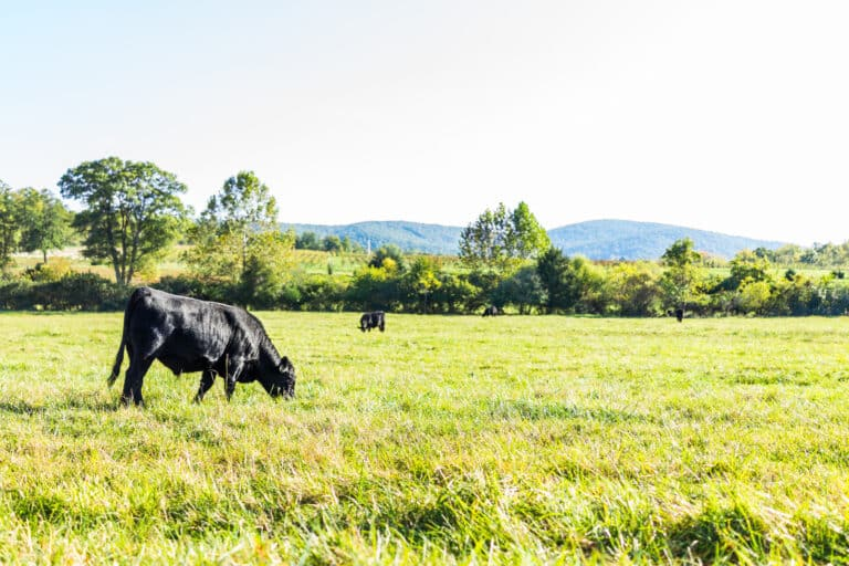 Black cows grazing on pasture in Virginia farms countryside meadow field with green grass